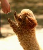 Собака Taidi (familiaris волчанки волка) Стоковое фото RF