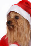 Собака terrier Yorkshire нося шлем Санты Стоковые Фото