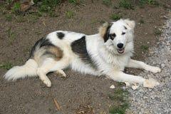 Собака Tornjak стоковые изображения