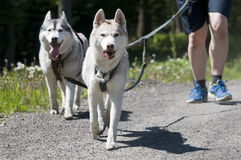 Собака trekking Стоковое Фото