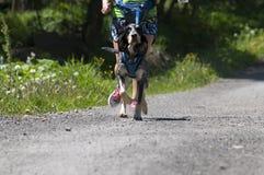 Собака trekking стоковое изображение rf