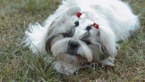 Собака tzu Shih на траве ¡ Ð рубя на куске дерева акции видеоматериалы