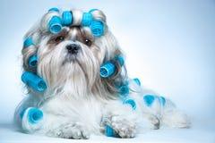 Собака tzu Shih Стоковое Фото