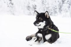 Собака Usky принимая перерыв между тягами скелетона стоковое фото rf