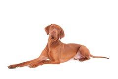 Собака Vizsla против белой предпосылки Стоковые Фотографии RF