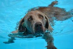 Собака Weimaraner заплывания Стоковое Фото