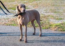 Собака Weimaraner стоя на тротуаре стоковые фотографии rf