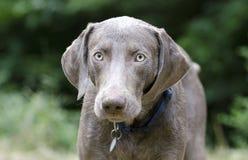 Собака Weimaraner стоковое изображение rf