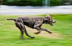 Собака Weimaraner Стоковое Фото