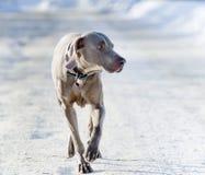 Собака Weimaraner Стоковые Фото
