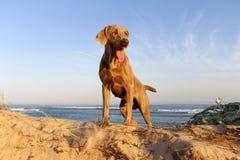 Собака Weimaraner Стоковая Фотография RF