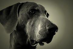 Собака Weimaraner Стоковые Изображения