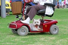 Собака Westie на самокате инвалидности Стоковое Изображение RF