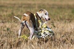 Собака Whippet Стоковое Изображение