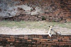 Собака - Wolfdog отдыхая на кирпичной стене стоковое изображение rf