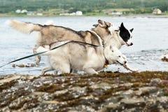 собаки лайок Стоковое Изображение RF