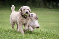 Собаки бежать и играя Стоковые Изображения
