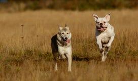 Собаки бежать на лужайке Стоковые Изображения