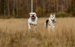 Собаки бежать на лужайке Стоковые Изображения RF