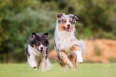 2 собаки бежать на луге Стоковые Фото