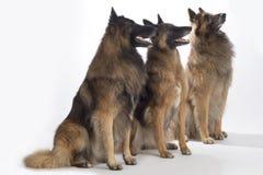 3 собаки, бельгийский чабан Tervuren, изолированное усаживание, стоковая фотография