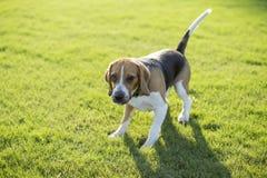 Собаки бигля Стоковые Фото