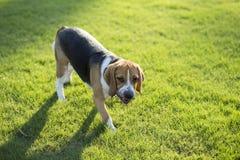 Собаки бигля Стоковая Фотография RF