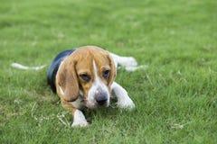 Собаки бигля Стоковое Фото
