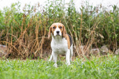 Собаки бигль outdoors - Стоковые Изображения