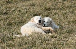 Собаки больших Пиренеи Стоковое Изображение RF