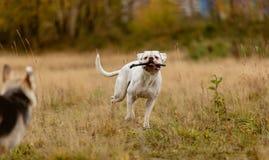 Собаки борясь для ручки Стоковое Изображение RF