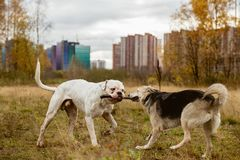 Собаки борясь для ручки Стоковое Изображение