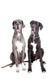 2 собаки больших датчанина на белизне Стоковые Фото