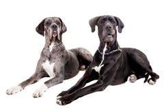 2 собаки больших датчанина на белизне Стоковое Фото