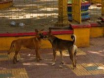 Собаки бродяги в Азии Стоковое Изображение