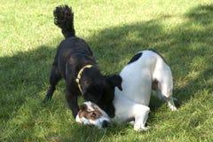собаки воюя игру 2 Стоковые Изображения
