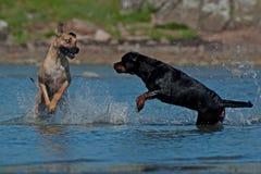 Собаки воюя на пляже Стоковые Изображения RF