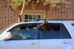 Собаки в автомобиле Стоковое Изображение