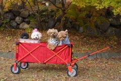 Собаки в красной тележке с осенью паркуют стоковая фотография