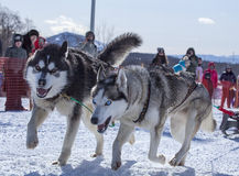 2 собаки в проводке вытягивая конкуренции саней Стоковые Изображения