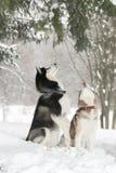 2 собаки в снеге исполняют команду служить стоковое фото rf