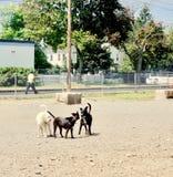 3 3 собаки говоря совместно, кабели подняли, уши вверх стоковые фотографии rf