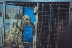 Собаки гончих в клетке Стоковые Фотографии RF