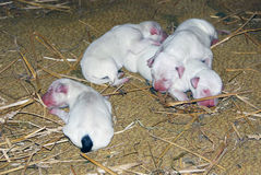 Собаки Далматина Стоковые Изображения