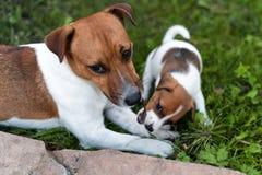 Собаки Джека Рассела играя на луге травы Щенок и взрослый выслеживают снаружи в парке, лето Стоковая Фотография RF