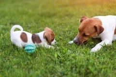 Собаки Джека Рассела играя на луге травы Щенок и взрослый выслеживают снаружи в парке, лето Стоковое фото RF