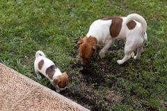Собаки Джека Рассела играя на луге травы Щенок и взрослый выслеживают снаружи в парке, лето Стоковое Изображение