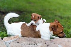 Собаки Джека Рассела играя на луге травы Щенок и взрослый выслеживают снаружи в парке, лето Стоковые Фотографии RF
