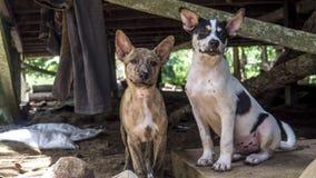 Собаки джунглей домашние Стоковые Изображения