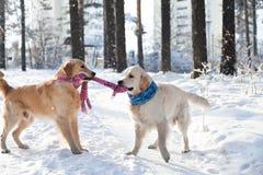 2 собаки золотых retriever играя кудель outdoors в зиме Стоковое Изображение RF